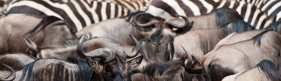 Wildebeest and Zebra Herd