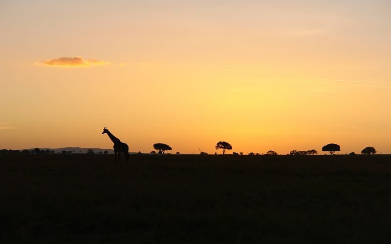 Giraffe Silhouette Landscape (©Royal Mara)